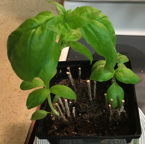 Basil 10 days new growth