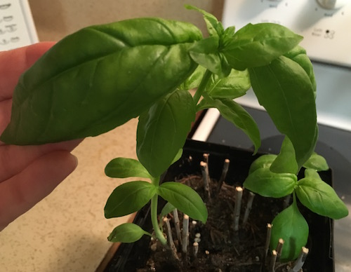 Basil Bigger Leaves than Before