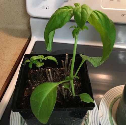 Basil Stoped Growing